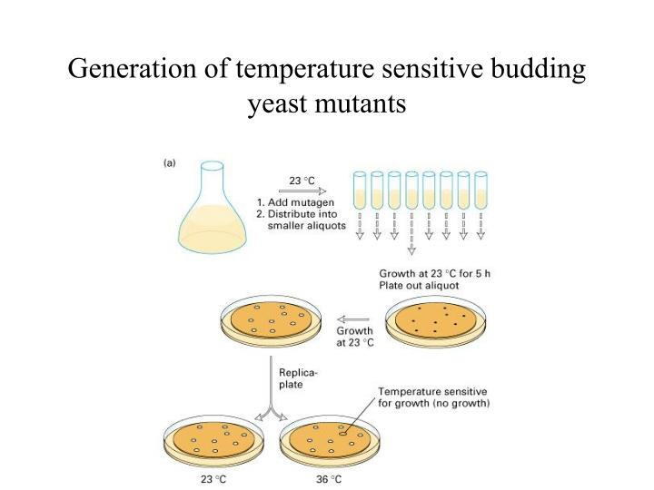 Generation of temperature sensitive budding yeast mutants