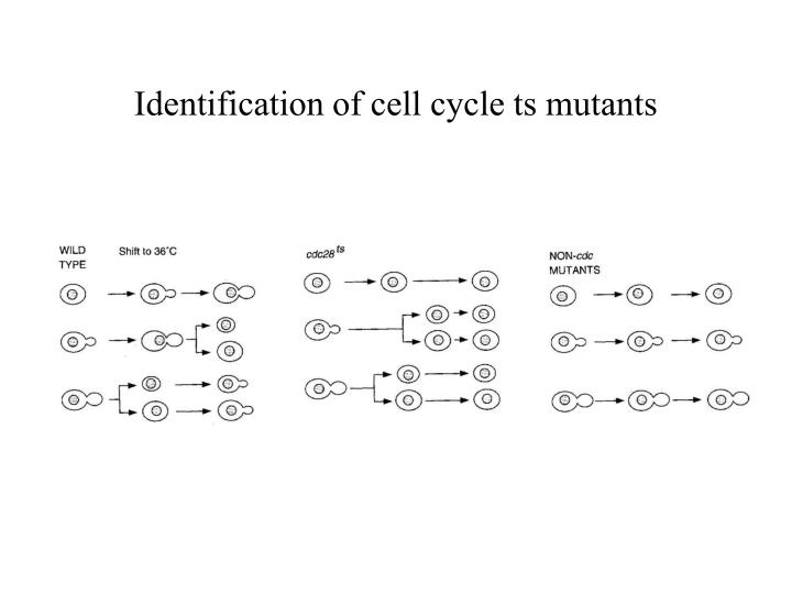 Identification of cell cycle ts mutants