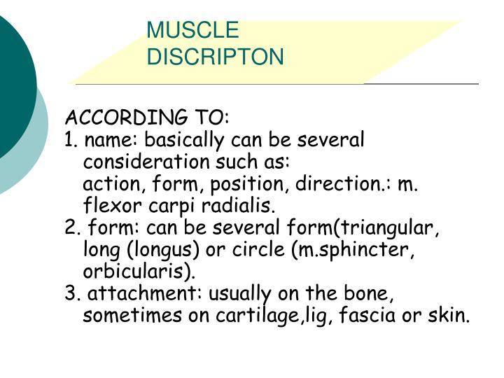 MUSCLE DISCRIPTON