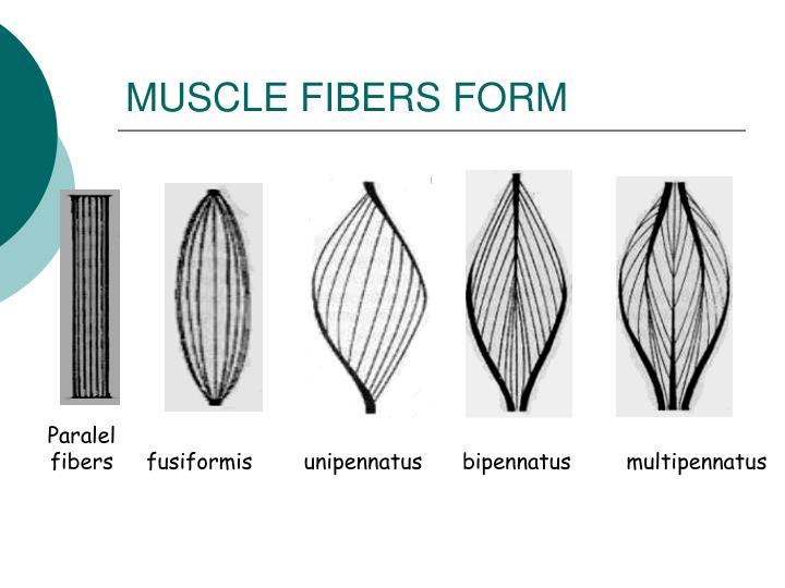MUSCLE FIBERS FORM