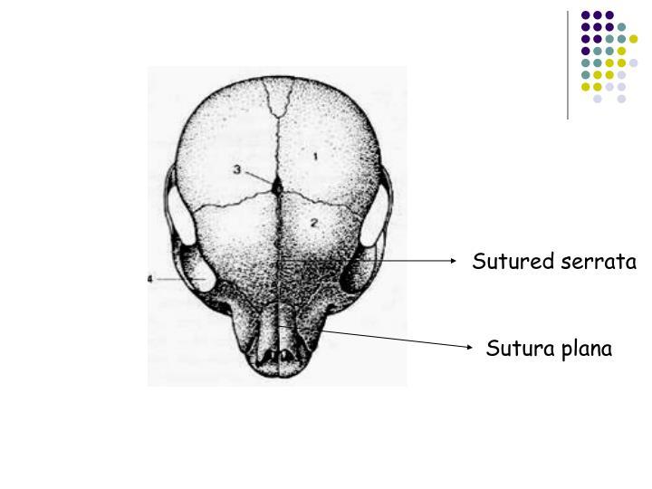 Sutured serrata
