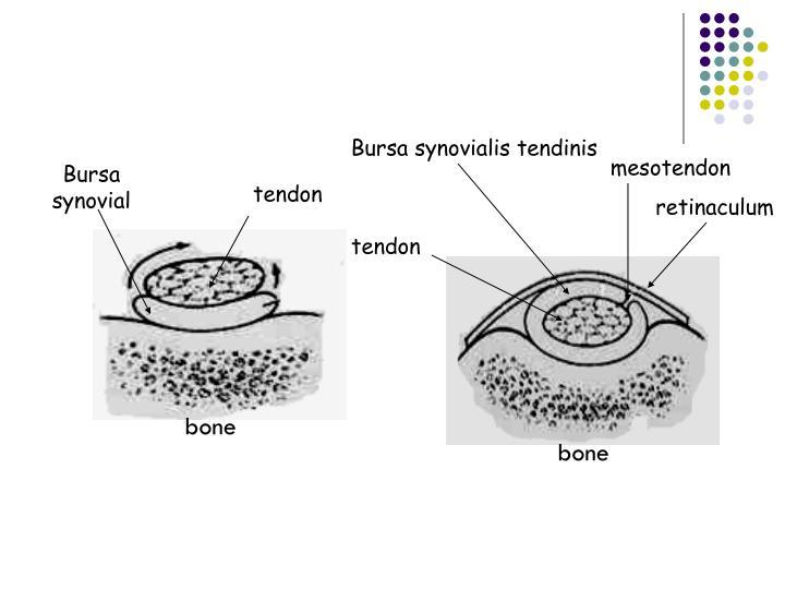 Bursa synovialis tendinis