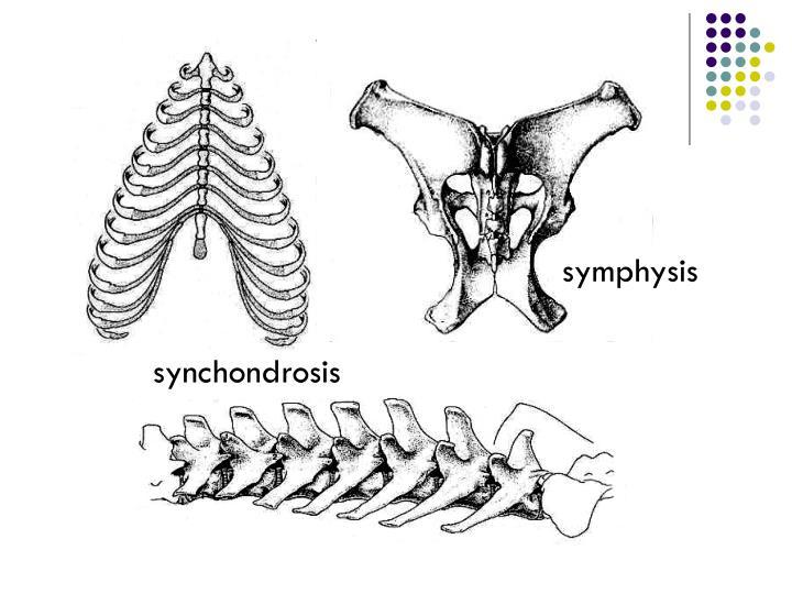 symphysis