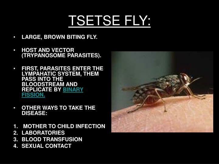 TSETSE FLY: