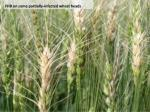 fhb on some partially infected wheat heads