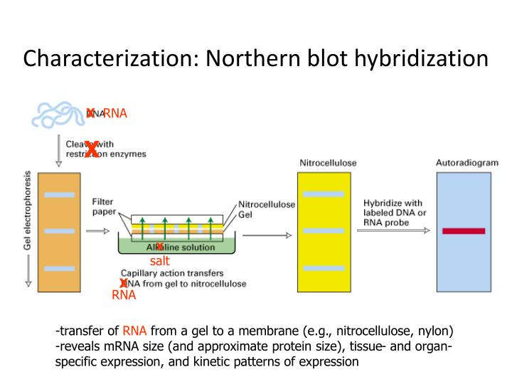 Characterization: Northern blot hybridization