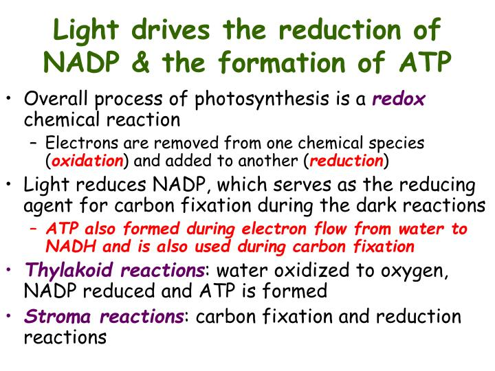 Light drives the reduction of NADP & the formation of ATP