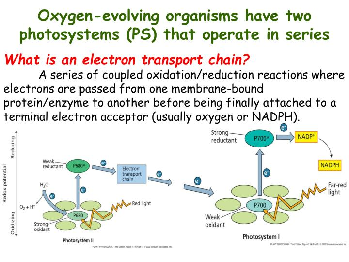 Oxygen-evolving organisms have two photosystems (PS) that operate in series
