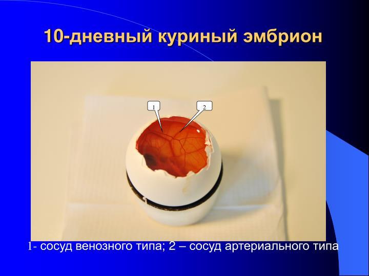 10-дневный куриный эмбрион