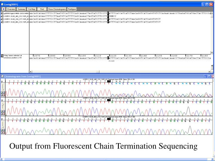 Output from Fluorescent Chain Termination Sequencing