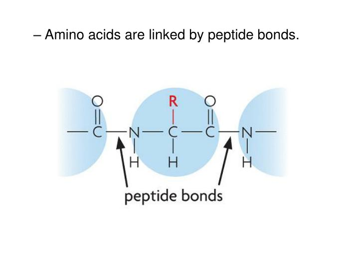 Amino acids are linked by peptide bonds.