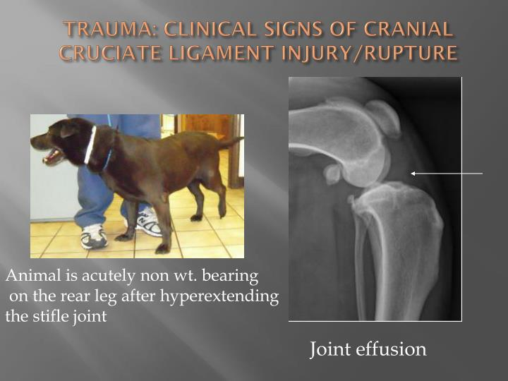 TRAUMA: CLINICAL SIGNS OF CRANIAL CRUCIATE LIGAMENT INJURY/RUPTURE