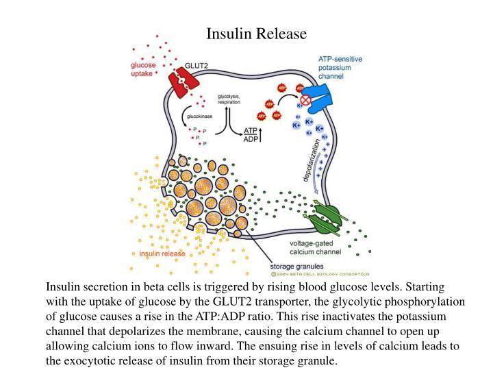 Insulin Release