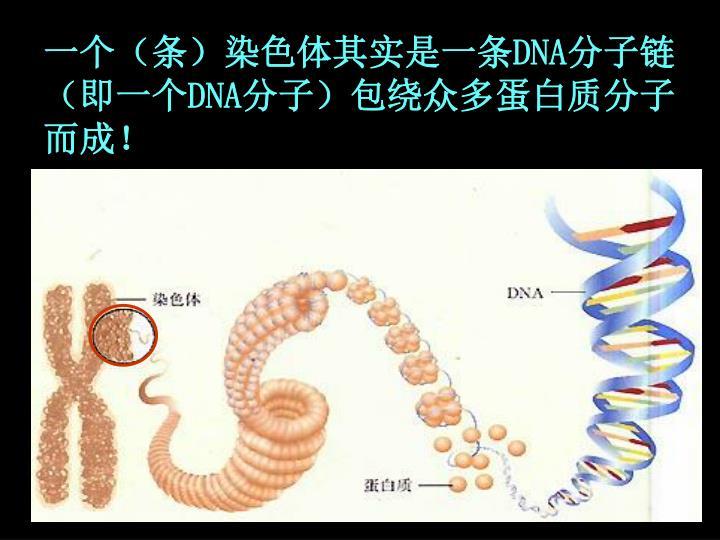 一个(条)染色体其实是一条