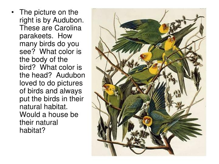 The picture on the right is by Audubon.  These are Carolina parakeets.  How many birds do you see?  What color is the body of the bird?  What color is the head?  Audubon loved to do pictures of birds and always put the birds in their natural habitat.  Would a house be their natural habitat?