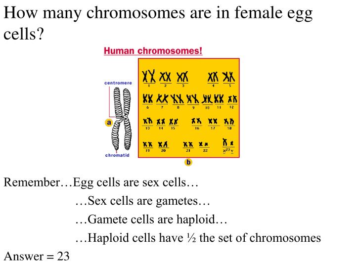 How many chromosomes are in female egg cells?