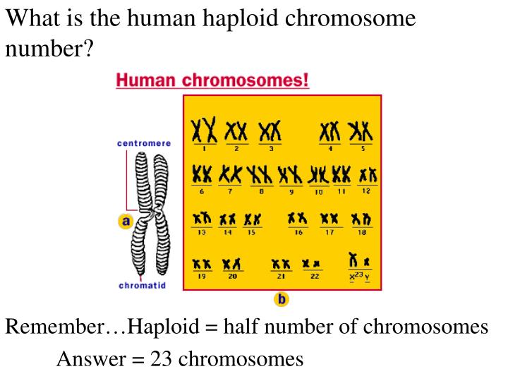 What is the human haploid chromosome number?