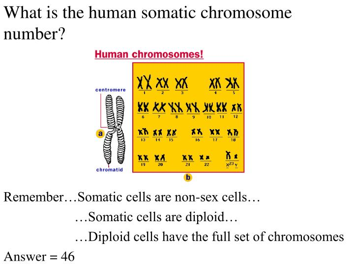 What is the human somatic chromosome number?