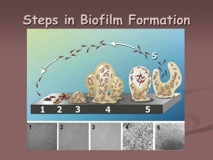 Steps in Biofilm Formation