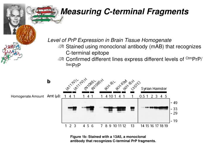Level of PrP Expression in Brain Tissue Homogenate