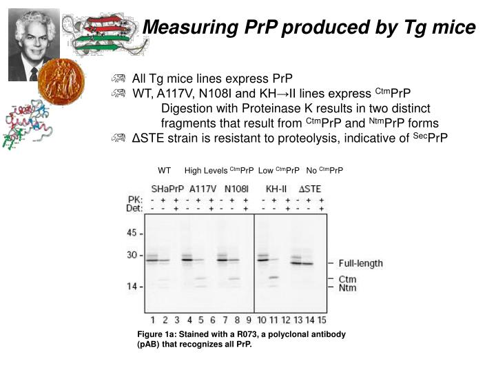 All Tg mice lines express PrP