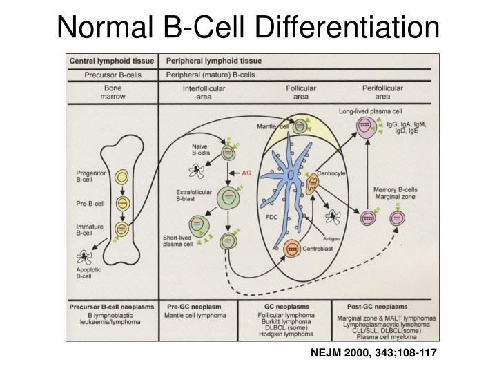 Normal b cell differentiation