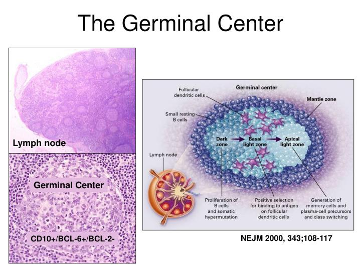 The Germinal Center