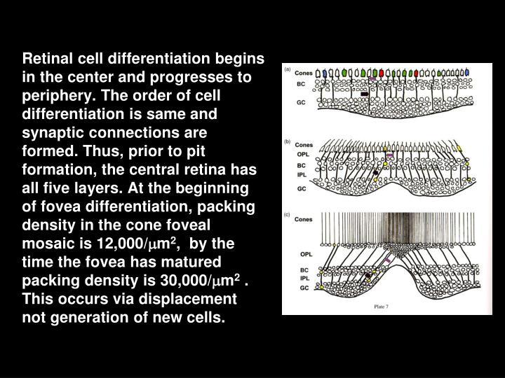 Retinal cell differentiation begins in the center and progresses to periphery. The order of cell differentiation is same and synaptic connections are formed. Thus, prior to pit formation, the central retina has all five layers. At the beginning of fovea differentiation, packing density in the cone foveal mosaic is 12,000/