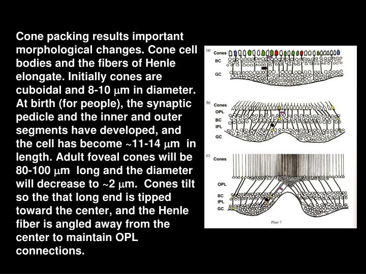 Cone packing results important morphological changes. Cone cell bodies and the fibers of Henle elongate. Initially cones are cuboidal and 8-10