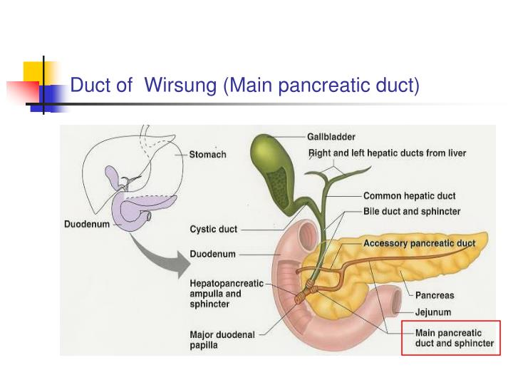 Duct of  Wirsung (Main pancreatic duct)
