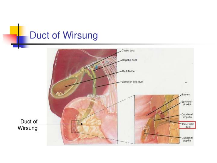Duct of Wirsung
