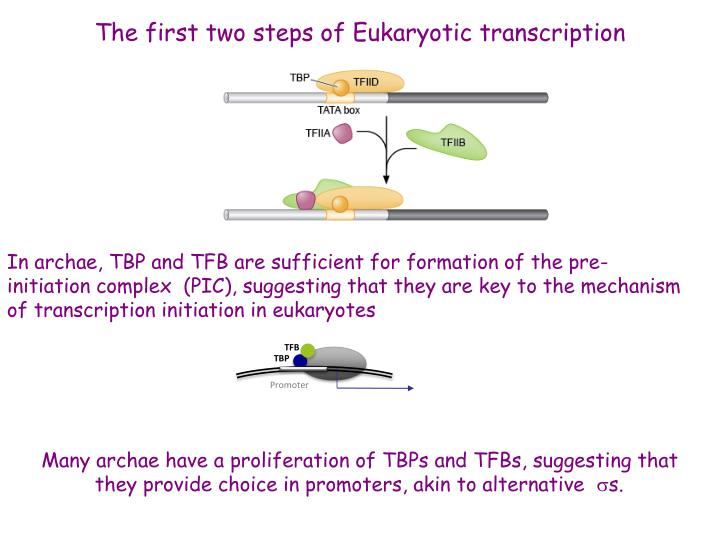 The first two steps of Eukaryotic transcription