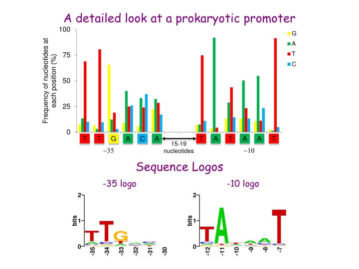 A detailed look at a prokaryotic promoter