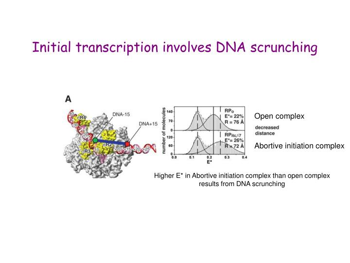 Initial transcription involves DNA scrunching