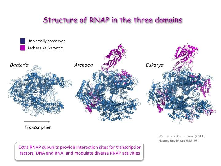 Structure of RNAP in t