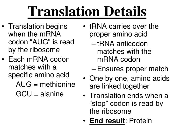 """Translation begins when the mRNA codon """"AUG"""" is read by the ribosome"""