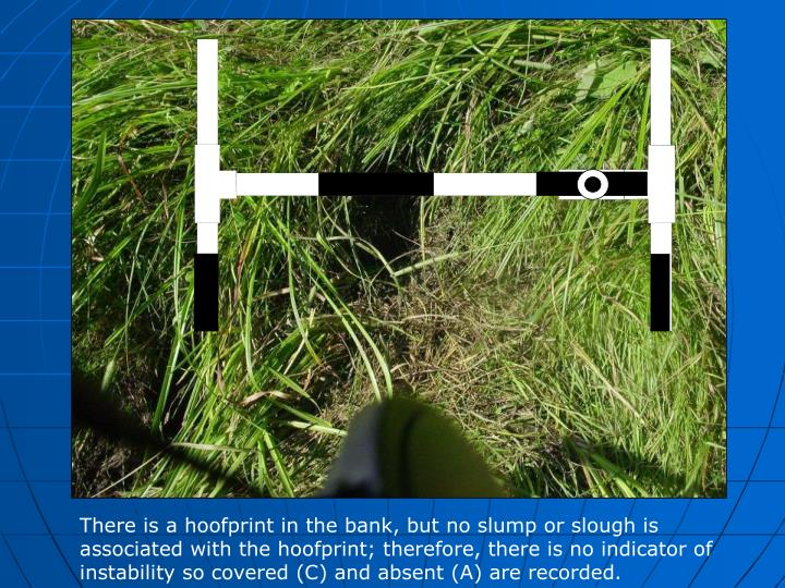 There is a hoofprint in the bank, but no slump or slough is associated with the hoofprint; therefore, there is no indicator of instability so covered (C) and absent (A) are recorded.