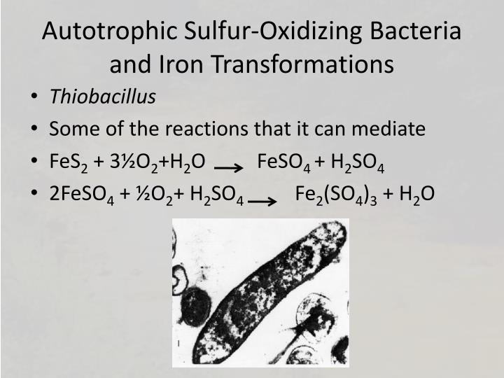 Autotrophic Sulfur-Oxidizing Bacteria and Iron Transformations