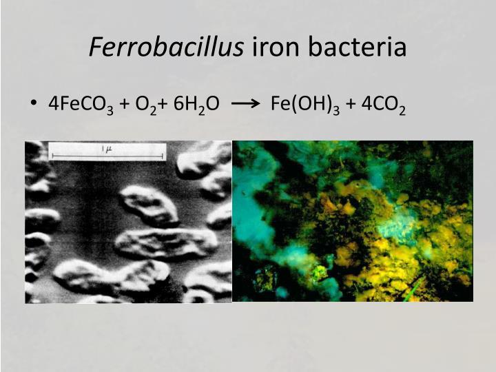 Ferrobacillus