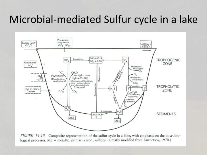 Microbial-mediated Sulfur cycle in a lake
