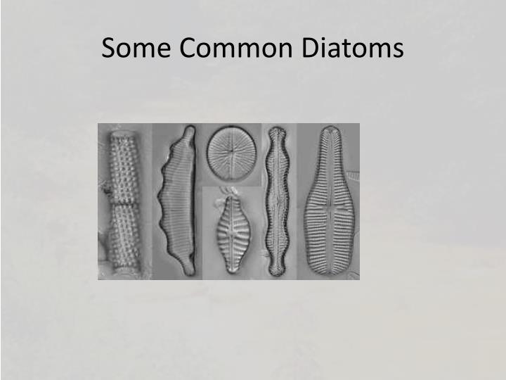Some Common Diatoms
