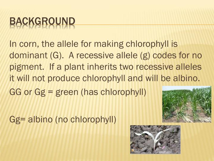 In corn, the allele for making chlorophyll is dominant (G).  A recessive allele (g) codes for no pigment.  If a plant inherits two recessive alleles it will not produce chlorophyll and will be albino.