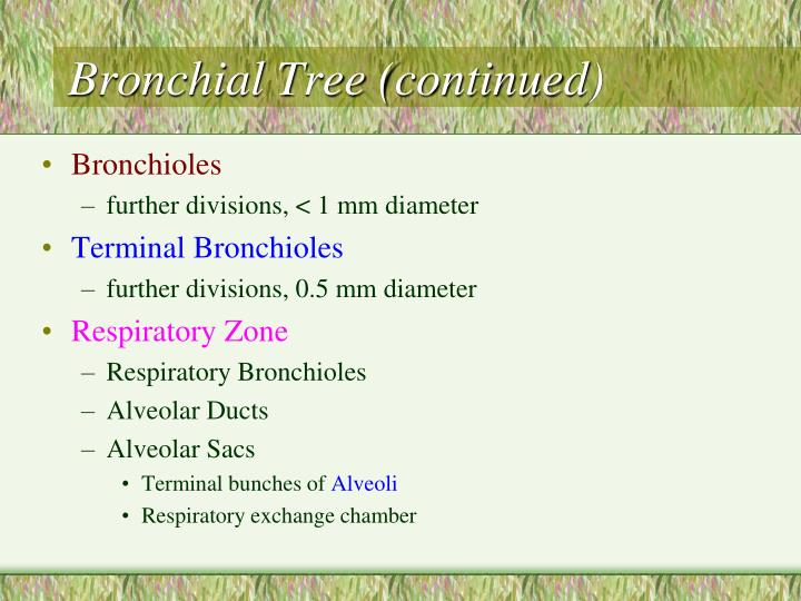 Bronchial Tree (continued)
