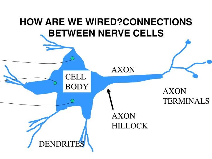 HOW ARE WE WIRED?CONNECTIONS BETWEEN NERVE CELLS