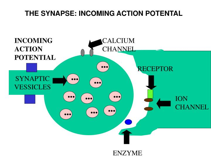 THE SYNAPSE: INCOMING ACTION POTENTAL