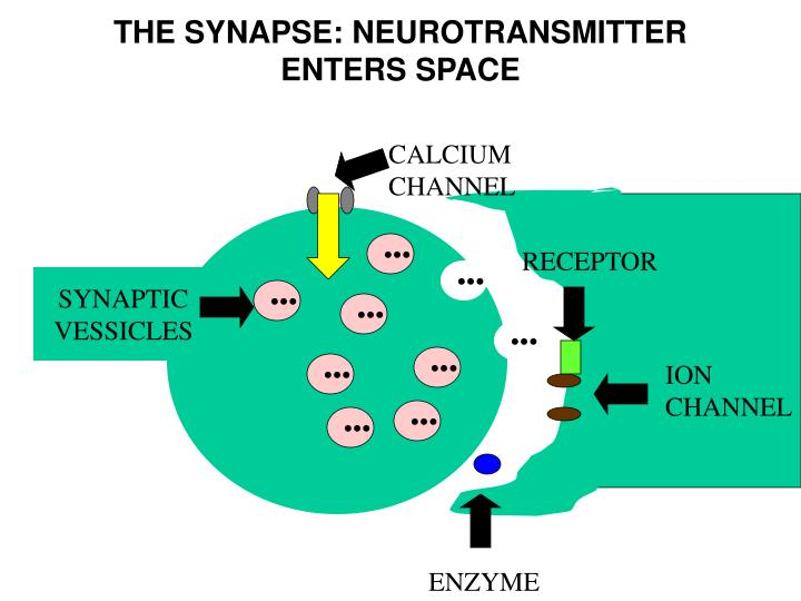 THE SYNAPSE: NEUROTRANSMITTER ENTERS SPACE