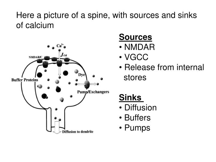 Here a picture of a spine, with sources and sinks of calcium