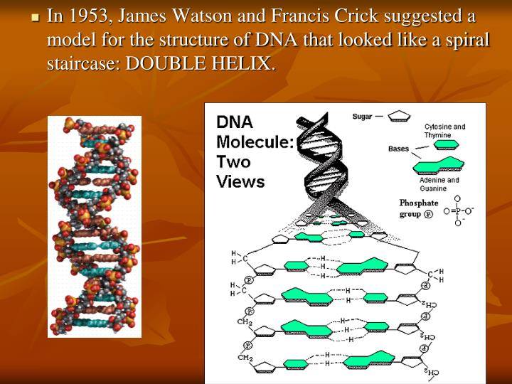 In 1953, James Watson and Francis Crick suggested a model for the structure of DNA that looked like a spiral staircase: DOUBLE HELIX.