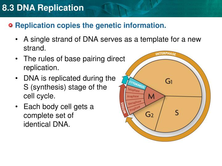 Replication copies the genetic information