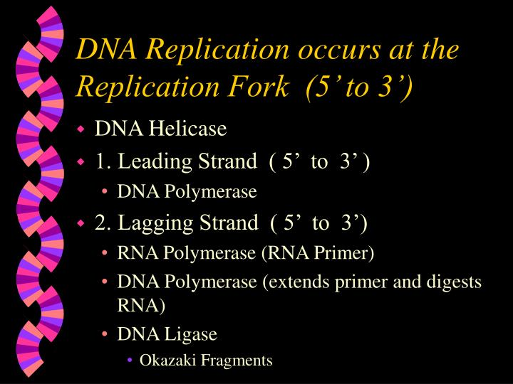 DNA Replication occurs at the Replication Fork  (5' to 3')